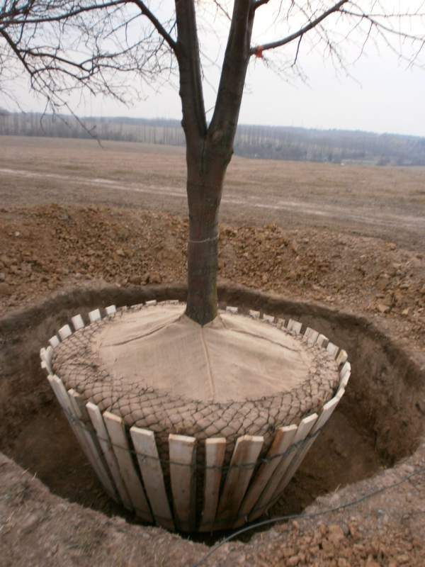 Когда сажать дуб саженец 947