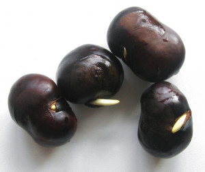 Как посадить и вырастить каштан из ореха