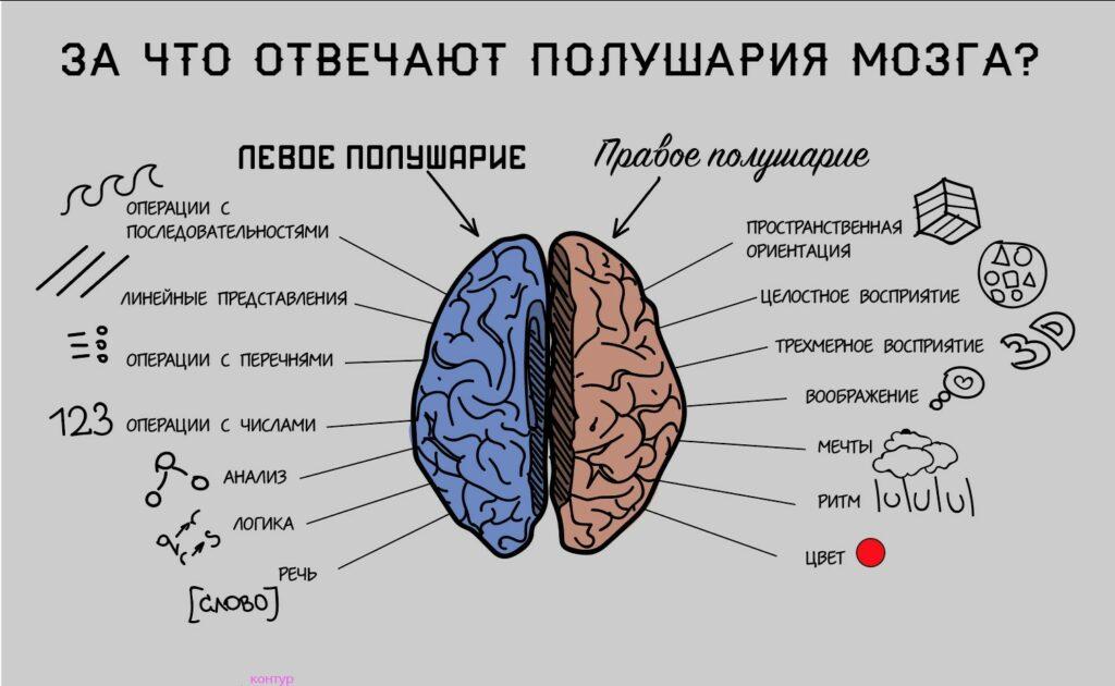 Полушария мозга