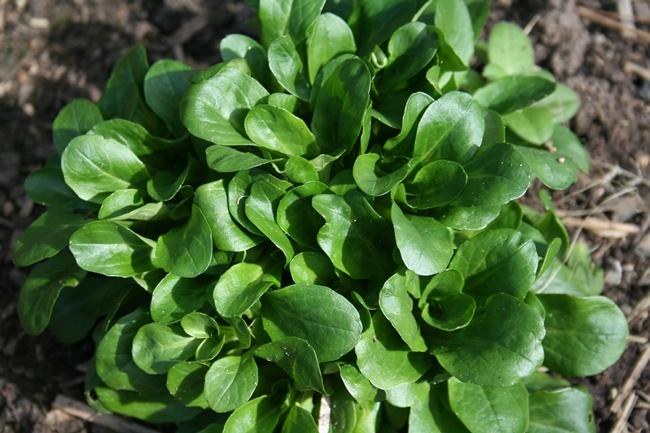 Зеленые листовые овощи Валерианелла
